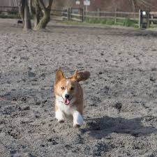1000 images about Corgis on Pinterest