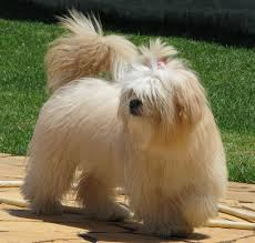 Shih Tzu Lhasa Apso Shedding lhasa apso facts pictures price and training dog breeds