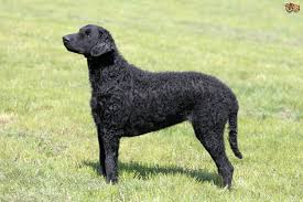 Portuguese Water Dog Non Shedding by Portuguese Water Dog Dog Breed Information Buying Advice Photos
