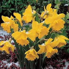 25kg bag of early flowering daffodil bulbs at best bulk prices