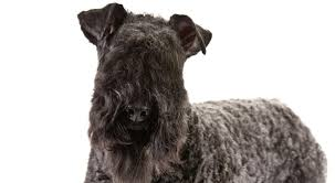 Do Irish Wheaten Terriers Shed by Kerry Blue Terrier Dog Breed Information American Kennel Club