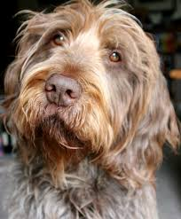 No Shed Dogs Medium by Labradoodle Breed Standard Aussiedoodle And Labradoodle Puppies
