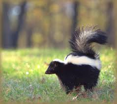 Skunks: How To Identify And Get Rid Of Skunks In The Garden | The ... How To Get Rid Of Skunks From Under A Shed Youtube Rabbits Identify And Rid Garden Pest Of And Prevent Infestation With Professional Skunk In Backyard Outdoor Goods To Your Yard Quick Ideas Image Beasts Diggings Droppings Moles Telegraph Mole Removal Skunk Control Treatments Repellent For The Home Yard Garden Odor What Really Works Pics On Extraordinary Affordable Wildlife Control Toronto Raccoon Squirrel Awesome A Wliinc