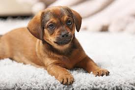 Best House Dogs That Dont Shed by 5 Great Rugs For Homes With Dogs Canine Compatible Carpet