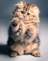 kitty cat 608 best kitty cat images on animals cats and kitty cats