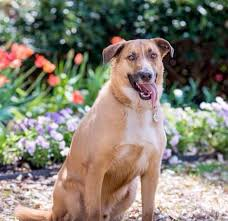30 Dog Breeds That Shed The Most by Chinook Dog Breed Information Pictures Characteristics U0026 Facts