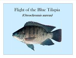 Flight Of The Blue Tilapia Oreochromis Aureus