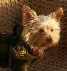 cairn terrier shed hair yorkie shedding terrier information center
