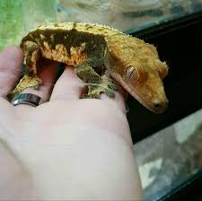 Crested Gecko Shedding Info by Crested Gecko In Fareham Hampshire Gumtree
