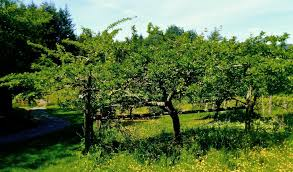 Backyard Mini Orchards: Smaller Apple Trees A Popular Option - The ... Garden Design With Backyard Landscaping Trees Backyard Fruit Trees In New Orleans Summer Green Thumb Images With Pnic Park Area Woods Table Stock Photo 32 Brilliant Tree Ideas Landscaping Waterfall Pond Stock Photo For The Ipirations Shejunks Backyards Terrific 31 Good Evergreen Splendid Grass Scenic Touch Forest Monochrome Sumrtime Decorating Bird Bath Fountain And Lattice Large And Beautiful Photos To Select Best For