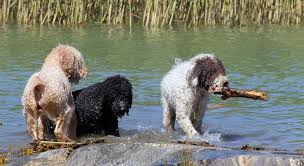 Portuguese Water Dog Shedding Problems by Spanish Water Dog Dog Breed Standards