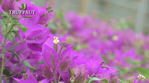 présentation et entretien du bougainvillier jardinerie truffaut
