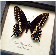 Real Framed Papilio Polyxenes Asterius Yellow Tiger Stripe Swallowtail 50