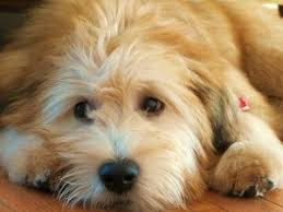 soft coated wheaten terriers puppy party puppies for sale