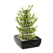 entretien des bambous en pot entretien d un bambou en pot pivoine etc