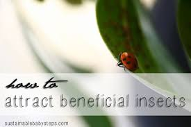 Attracting Insects To Your Garden by Attracting Beneficial Garden Insects Sustainable Baby Steps