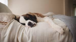 ihr hund soll zum tierarzt da entdeckt sie ihn reglos im bett
