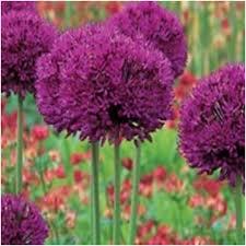 allium purple sensation flower bulbs qty 50 mill bulbs