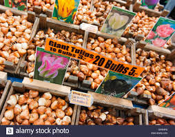 tulip bulbs for sale at the amsterdam flower market stock photo