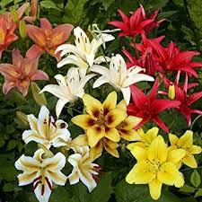 asiatic mix 10 perennial flower bulbs garden