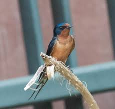 When The Swallows Come Back To Colorado | New Colorado Naturalist Flying Barn Swallow Stock Photo Image Of Swift Martin 13408420 Perching Birds Lake Apopka Wildlife Audubon Guide To North American Ebirdr Watercolor Blue Bird On Stock Illustration 302720159 Warsciowestronytop Words On Another Blog First Chicks Swallows Including And Tree