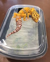 Crested Gecko Shed Box by How To Help Leopard Gecko Shed Best Leopard In The Word 2017