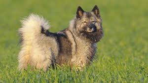 Dogs That Dont Shed Keeshond by 9 Dogs That Look Like Huskies Barking Royalty