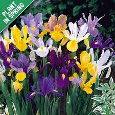 iris mix flower bulbs
