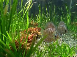 aquarium d eau douce aquarium eau douce granby jean sur richelieu sherbrooke