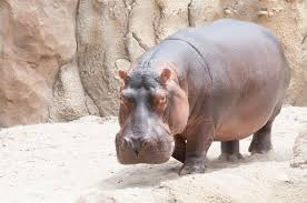 Cincinnati Zoo Halloween by Fiona The Hippo With Dad Henry Interacting Henry Is Not 100