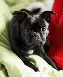 Do Pugs And Puggles Shed by Frug