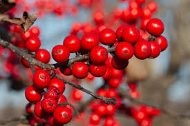 Winterberry Christmas Tree Farm by December 2014 Henry Hartley