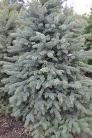 Christmas Tree Types by Christmas Trees Real Or Fake Frankie Flowers Grow Eat Live