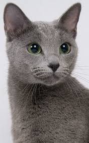 russian cat names best 25 russian blue cat personality ideas on
