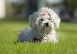 Miniature Dog Breeds That Dont Shed by Calm Dog Breeds That Don T Shed Dog Breeds