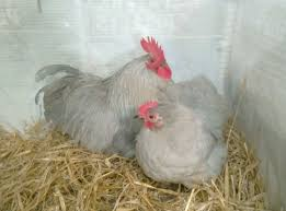 UK Various Types Of Quail, Indian Runner Duck And Lavender Pekin ... 14 Best Chicken Breeds Images On Pinterest Grandpas Feeders Automatic Feeder Standard 20lb Feed Backyard Chickens Norfolk Va 28 Run Selling Eggs From Uk My Marans Red Pyle Brahmas And Other Colours Backyard Chickens Page 53 Of 58 Backyard Ideas 2018 Derbyshire Redcaps Uk Cleaning Stock Photos Images Quietest Breeds Uk With Quiet Coop How To Keep Your Hens Laying All Winter Long Top 5 Tips A Newbie The