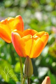 buy tulip apeldoorn elite bulbs darwin hybrid tulips