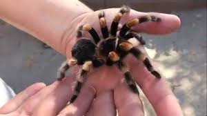 Pumpkin Patch Tarantula Scientific Name by Meet 6 Spooky Animals You Can View At Boo At The Los Angeles Zoo