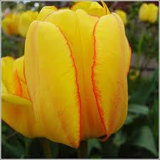 blushing apeldoorn tulip bulbs for sale buy tulip bulbs below