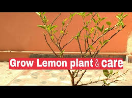 how to grow lemon tree in pot how to care lemon plant