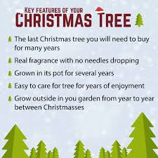Christmas Tree Saplings For Sale Uk by Pot Grown Norway Spruce Living Christmas Tree 1 1 2m Tall Amazon