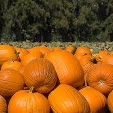 Pumpkin Patch Near Dixon Ca by Some Of The Nation U0027s Best Pumpkin Patches Dave U0027s Garden