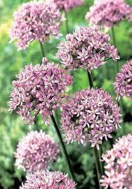 pink allium flowers pink bulbs allium bulbs pink buy