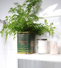 Plants In Bathroom Good For Feng Shui by Best 25 Maidenhair Fern Ideas On Pinterest Indoor Ferns Caring