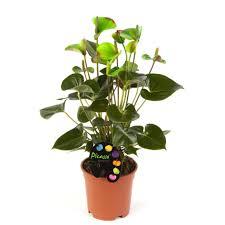 anthurium bleu anthurium purple thuisbloemist plant