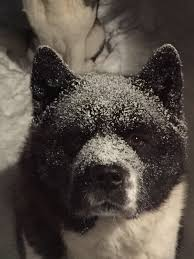 Do Akitas Shed Bad by Snow Taylor Grace