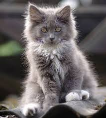 haired cat best 25 gray and white cat ideas on grey and white