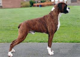 Non Shedding Large Dogs by Boxer Dog All Big Dog Breeds