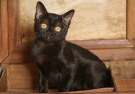 bombay cats proof black bombay cats are anything but petcha