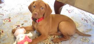 When Do Vizslas Shed Their Puppy Coat by How We Help Our Vizsla With Her Severe Separation Anxiety